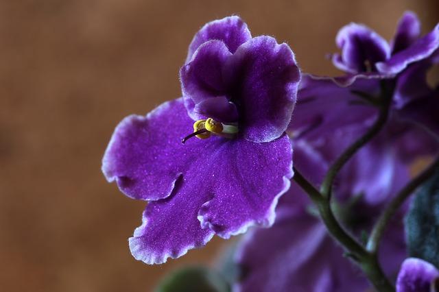 violeta africana- plantas de interior con flores todo el año