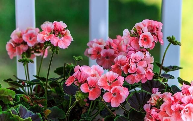 geranio - plantas de interior con flores todo el año