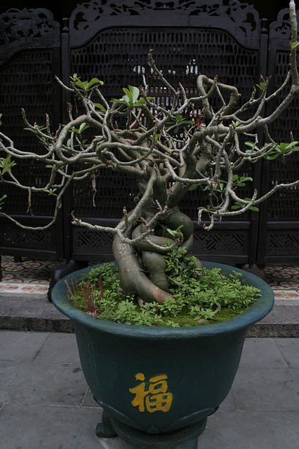 Cuidados Ficus Microcarpa Ginseng