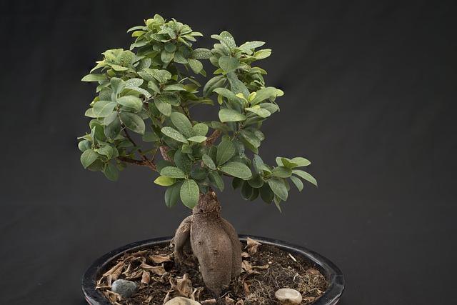 Cómo cuidar un Ficus Microcarpa Ginseng