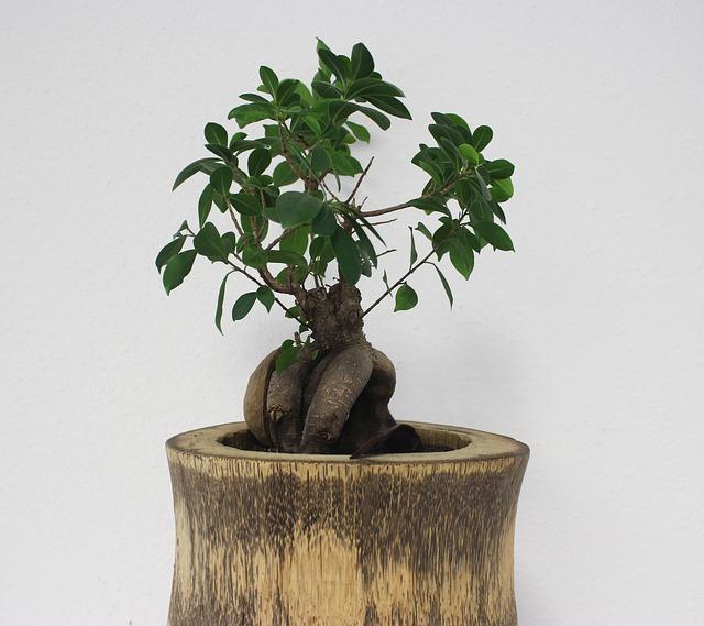 Riego Ficus Microcarpa Ginseng