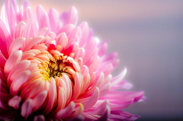 plantas de invierno: crisantemo