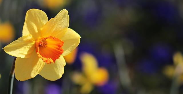 plantas de invierno: narciso