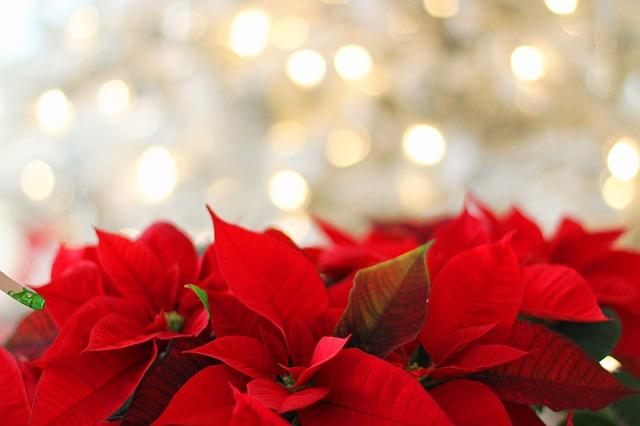 plantas de invierno: flor de pascua