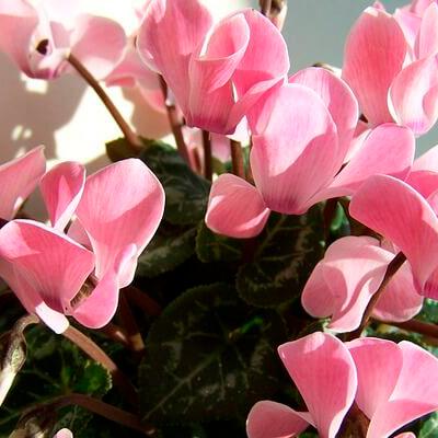 regala flores ciclamen
