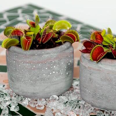regalar plantas carnivoras