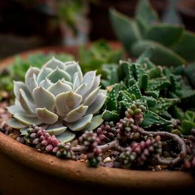 regalar una planta suculenta