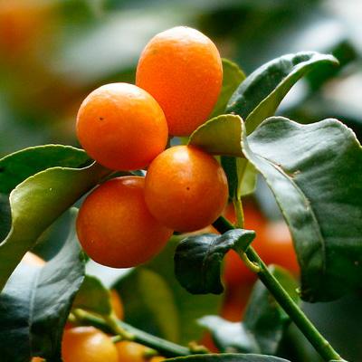 regalar un árbol de fruta