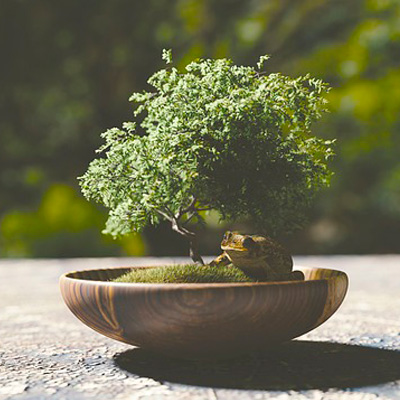 regalar un bonsai
