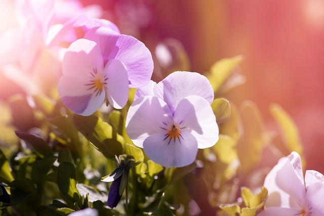 plantas de invierno: pensamiento