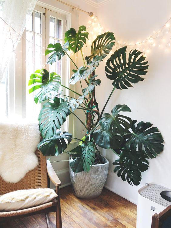 Plantas para espacios sin luz: Monstera