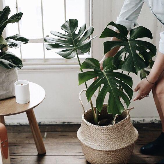 Plantas para espacios con poca luz: monstera