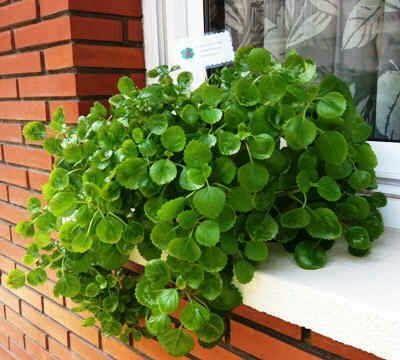 Plantas que crecen en el agua: planta del dinero
