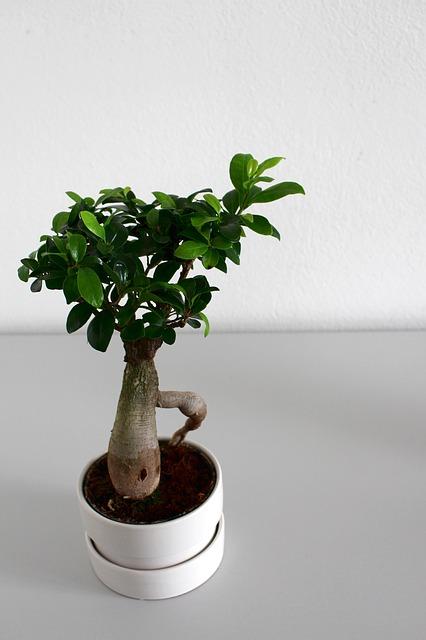Ficus Ginseng Ikea