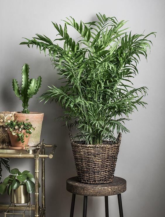 Plantas de interior que necesitan poca luz: camadorea