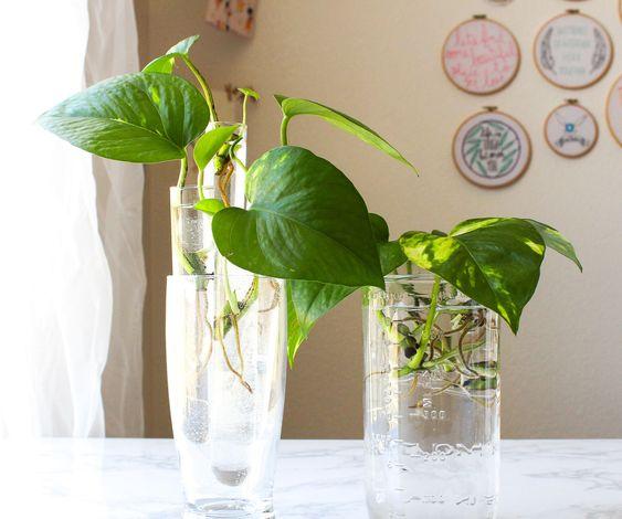 Plantas que pueden crecer en agua potos