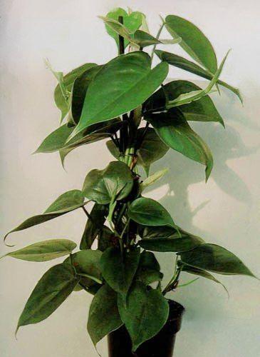 Plantas que crecen en el agua: filodentdro