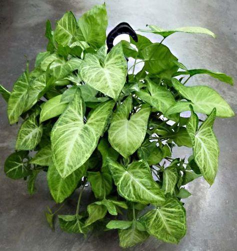 Singonio - Planta que crece en el agua