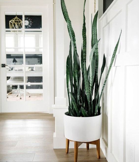 Sansevieria decorar hogar