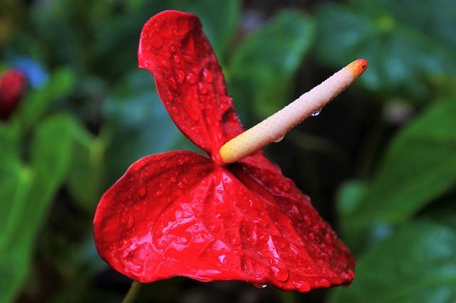 floracion anturio