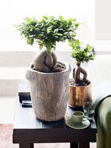 bonsai ginseng en maceta alta