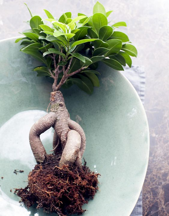 bonsai ginseng raices