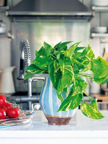 Plantas de interior duraderas: poto