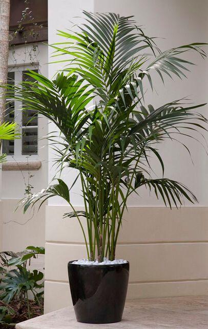 Plantas de interior duraderas: chamaedorea