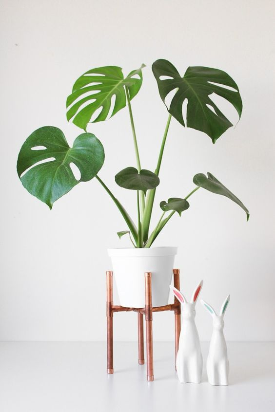 Plantas de interior duraderas: monstera