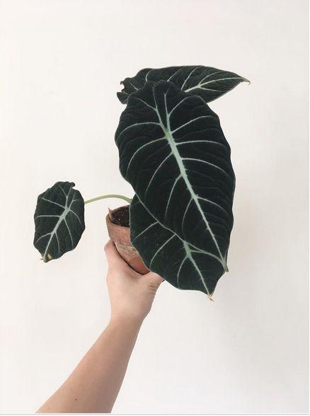 tipos de alocasia black velvet