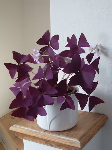 cuidados oxalis triangularis